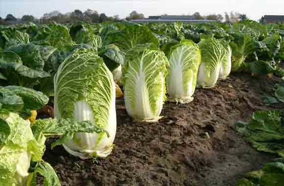 Nutritious value of cabbage